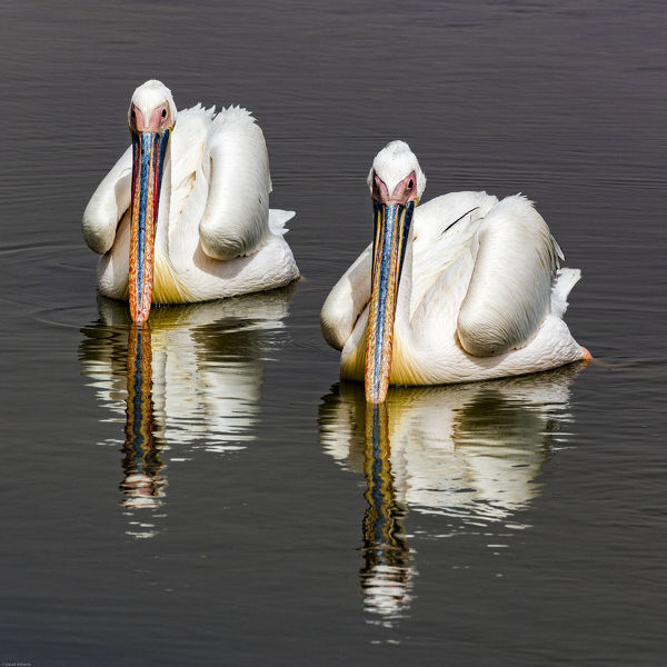 White pelicans at Walvis Bay in Namibia